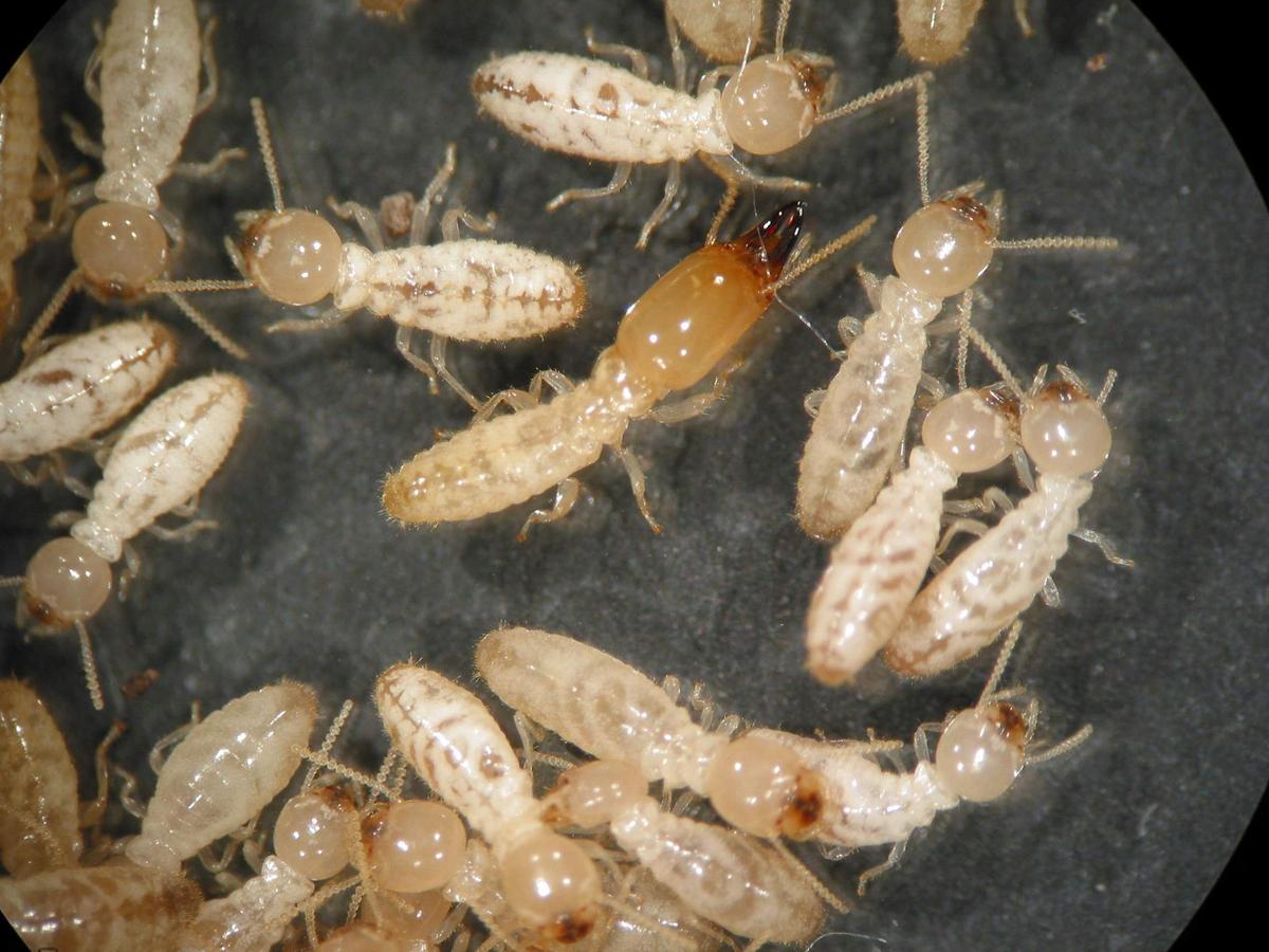 4-Termites