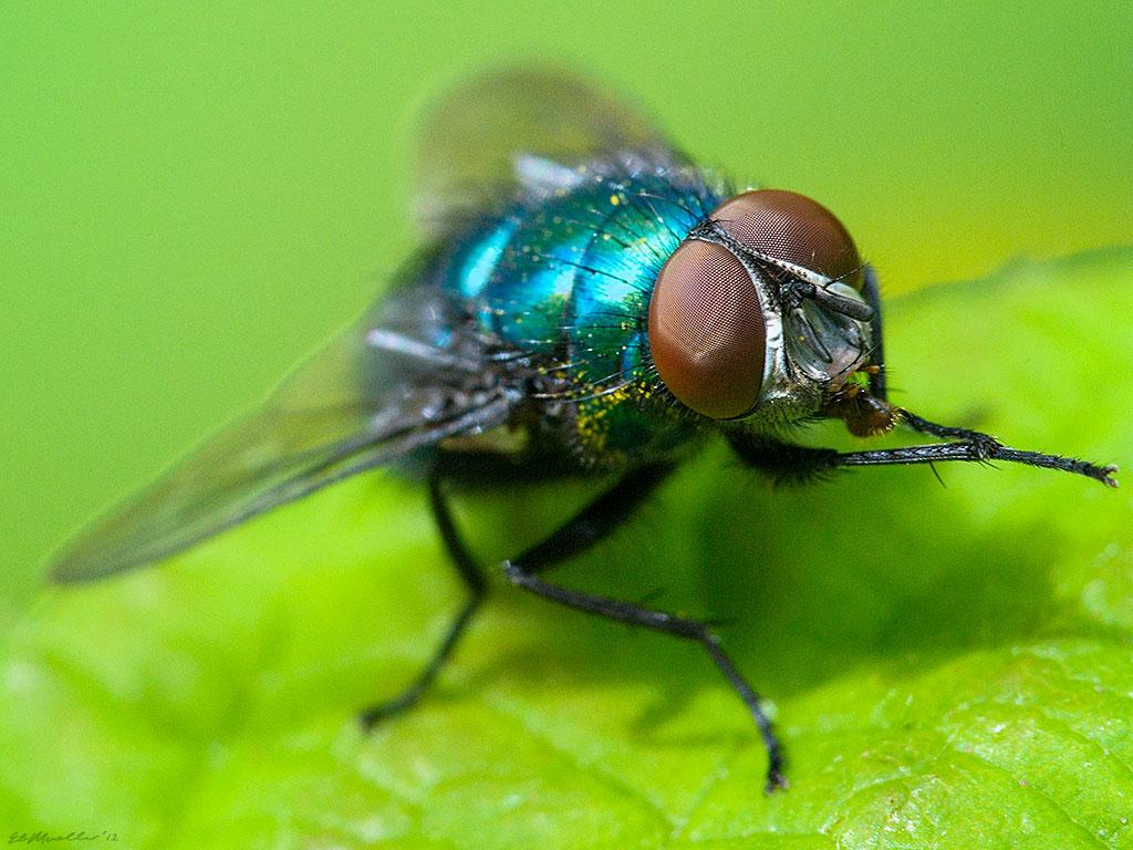 8-Blowfly
