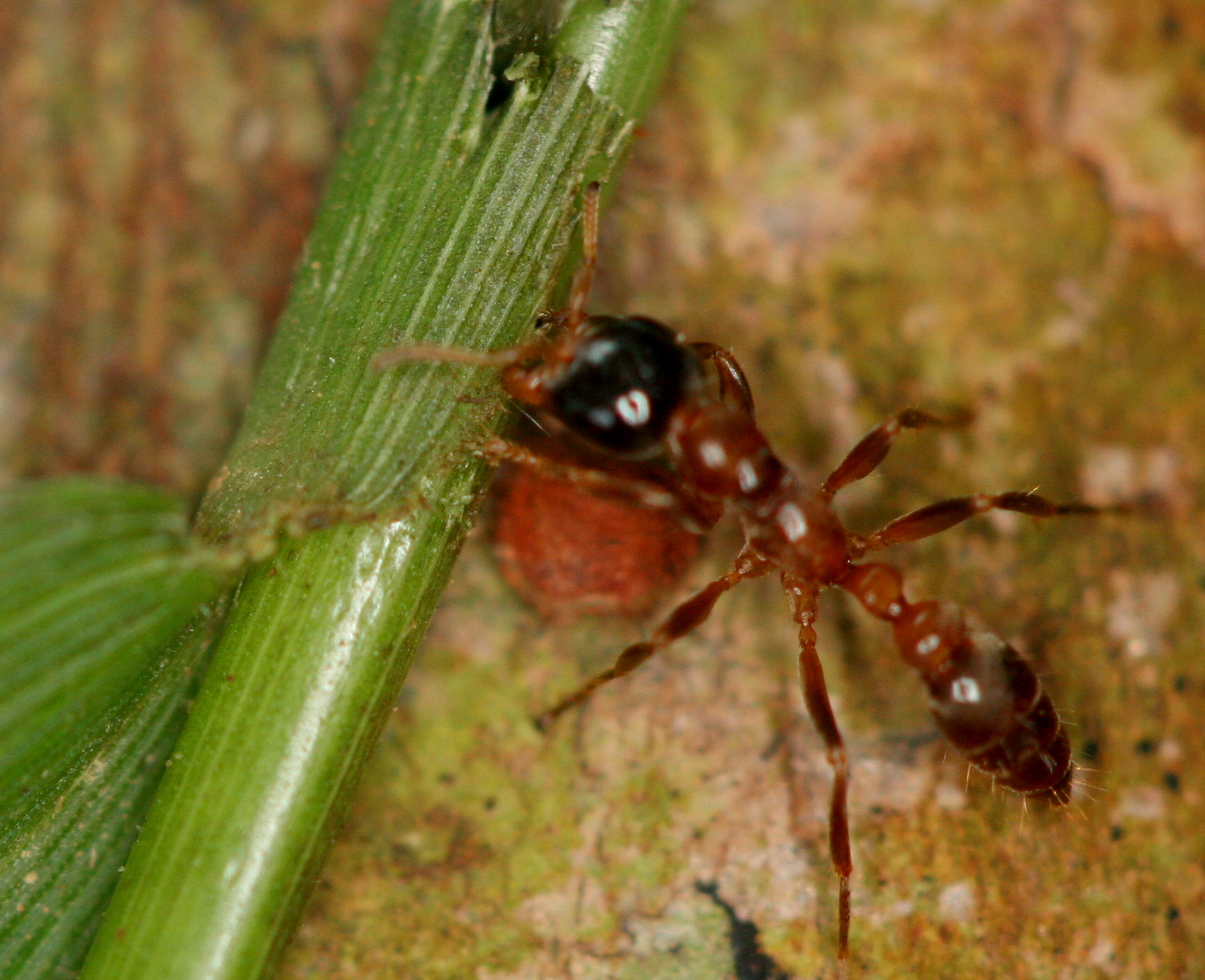 1-Devil-Tree-Ant