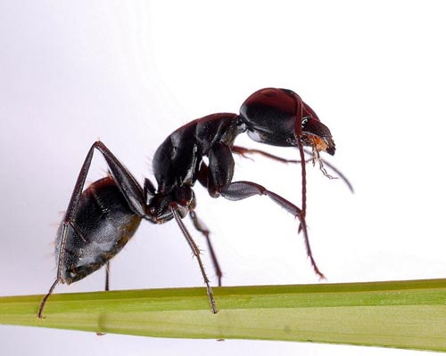 10-Chinese-Black-Mountain-Ant